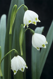 Leucojum Vernum Flowers Photographic Print by Archie Young