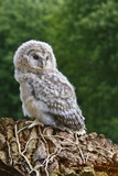 Young Ural Owl Fotoprint van Linda Wright