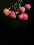 Crabapples (Malus Sp.) Photographic Print by Linda Wright