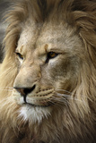 Lion Photographic Print by Linda Wright