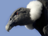 Andean Condor Photographic Print by Linda Wright