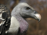 Ruppell's Vulture Photographic Print by Linda Wright