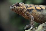 Chameleon Foto von Linda Wright