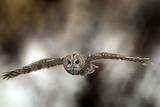 Cárabo común Lámina fotográfica por Linda Wright