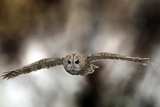 Tawny Owl Photographic Print by Linda Wright