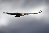 Griffon Vulture In Flight Photographic Print by Linda Wright