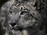 Snow Leopard Photographic Print by Linda Wright
