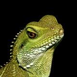 Chinese Water Dragon Photographie par Linda Wright