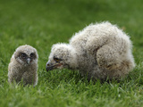 Owl Chicks Photographic Print by Linda Wright