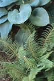Polystichum Setiferum 'Divisilobum' Posters by Archie Young