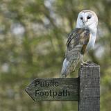 Barn Owl Photographic Print by Linda Wright
