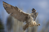 European Eagle Owl In Flight Fotoprint van Linda Wright