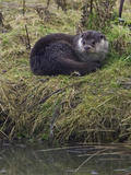 European Otter Photographic Print by Linda Wright