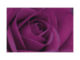 Persian Purple Rose Giclee Print by John Harper