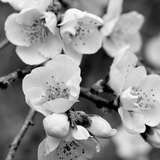 Crab Apple Flowers II Prints by Kathy Mansfield