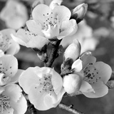 Crab Apple Flowers I Posters by Kathy Mansfield