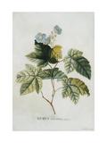 Rubus Print by Georg Dionysius Ehret