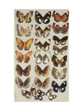 Twenty-two butterflies, all belonging to the family Nymphalidae Prints by Marian Ellis		 Rowan