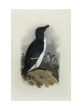A Razorbill Prints by Archibald		 Thorburn