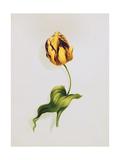 A Parrot Tulip Kunst von James Holland