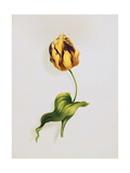 A Parrot Tulip Giclee Print by James		 Holland