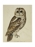 Brown Owl (Strix Ulula) Premium Giclee Print by Reverend Christopher		 Atkinson