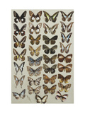 Thirty-three butterflies belonging to the Papilionidae and Danainae families Print by Marian Ellis		 Rowan