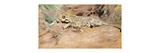 A Leopard Premium Giclee Print by Kuhnert Wilhelm