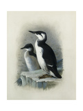 A Brunnich's Guillemot Giclee Print by Thorburn Archibald