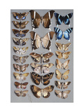Twenty-four moths, in three columns, mostly belonging to the family Noctuidae Poster by Marian Ellis		 Rowan