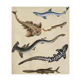 Studies of Fish including Shark, Pikefish, Carp and Gillhead Giclee Print by Sydenham Teast		 Edwards