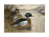Mergansers, on Loch Maree Posters by Archibald		 Thorburn
