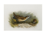 A Little Crake Giclee Print by Archibald		 Thorburn