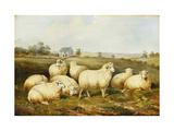 Sheep in a Meadow Gicléedruk van James Charles Morris