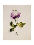 A Pink Rose Kunstdruck von James Holland