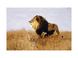 Lion Watching for Prey Art by Wilhelm		 Kuhnert