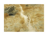 A Winter-Hare in a Landscape Giclee Print by Bruno		 Liljefors