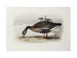 A White-Fronted Goose Giclee Print by Archibald		 Thorburn