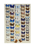 A packed plate of sixty-two butterflies Giclee Print by Marian Ellis		 Rowan