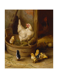 A White Sussex and a Buff Sussex with Chicks Impression giclée par Robert Morley