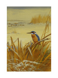 A Kingfisher Amongst Reeds in Winter Giclee Print by Archibald		 Thorburn