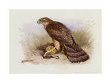 Goshawk Prints by Archibald		 Thorburn