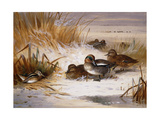 Mallard Widgeon and Snipe at the Edge of a Pool in Winter Giclee Print by Archibald		 Thorburn