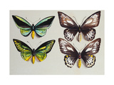 Four Birdwing butterflies (family Papilionidae) representing both sexes of the Common Birdwing Giclee Print by Marian Ellis		 Rowan