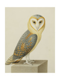 A Barn Owl (Tyto Alba) Giclee Print by Nicolas Robert