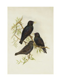 Common Starling Giclee Print by Henry Constantine		 Richter