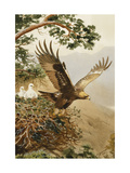 Golden Eagle with Young, Aviemore Giclee Print by John Cyril		 Harrison