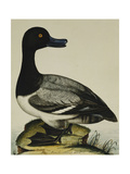 Scaup Duck (Anas Marila) Print by Reverend Christopher		 Atkinson