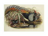 Lady Amherst's Pheasant Prints by Henry Constantine		 Richter