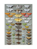 Sixty-three Moths, arranged inthree or five irregular columns Prints by Marian Ellis		 Rowan
